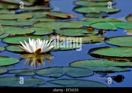Water lily with lily pads floating on pond in New York, USA. - Stock Photo