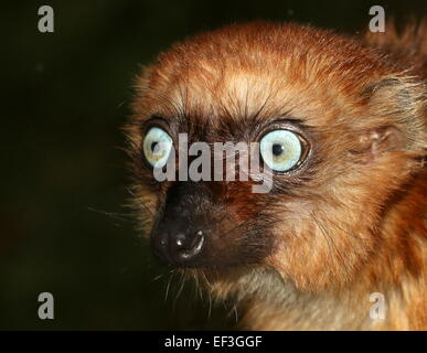 Female Madagascan Blue eyed black Lemur or Sclater's Lemur (Eulemur flavifrons), close-up of the head, facing camera - Stock Photo