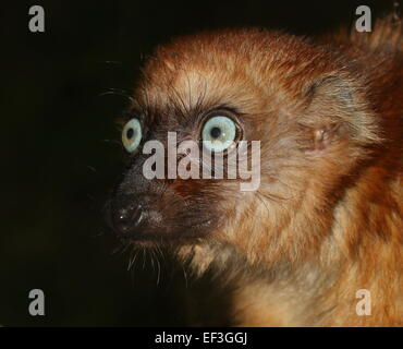 Female Madagascan Blue eyed black Lemur or Sclater's Lemur (Eulemur flavifrons), close-up of the head - Stock Photo