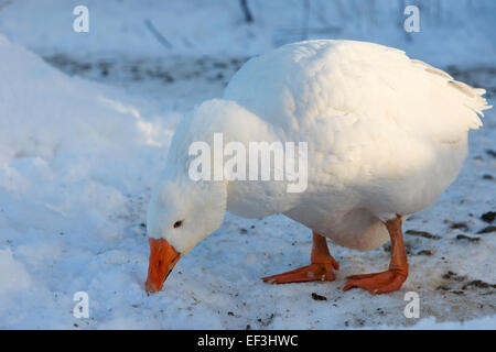 One white domestic Goose, Anser anser f. domestica, rummaging for food in snow outside. Derbyshire, England, UK, - Stock Photo