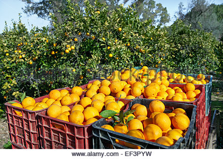 Citrus (orange) harvest near Perianna, Andalucia, Spain   photography © Andrea Jones/Garden Exposures Photo Library - Stock Photo