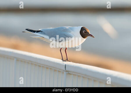 Image of a sea gull in northern Germany - Stock Photo