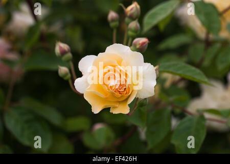 Yellow Rose portrait. - Stock Photo