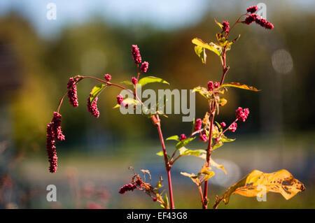 Persicaria maculosa (syn. Polygonum persicaria). Lady's Thumb - Stock Photo