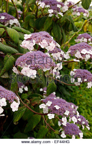 hydrangea aspera 39 macrophylla 39 agm stock photo royalty. Black Bedroom Furniture Sets. Home Design Ideas