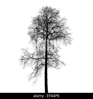 Leafless birch tree silhouette isolated on white background. Stylized photo - Stock Photo