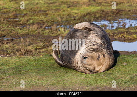 Grey seal lying on dunes, Halichoerus grypus, Donna Nook national nature reserve, Lincolnshire, England, UK - Stock Photo