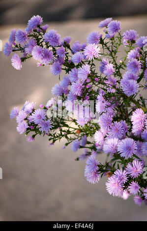 Growing Plant Of Perennial Aster Flower In Bloom In The