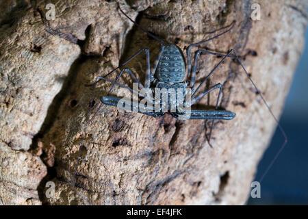Wildlife : Tazanian Giant Tailless Whip Scorpion - 'Damon variegatus'. - Stock Photo