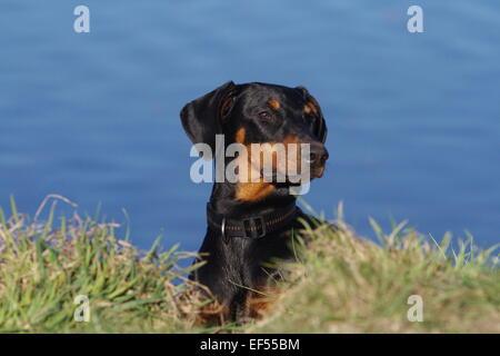 Dobermann 7 Monate alt liegt am Wasser - Stock Photo