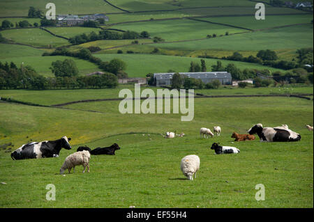 Sheep and beef cattle grazing together in uplnad pasture, Lancashire, UK. - Stock Photo