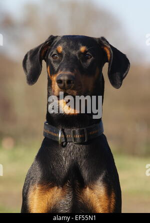 Dobermann Portrait 7 Monate - Stock Photo