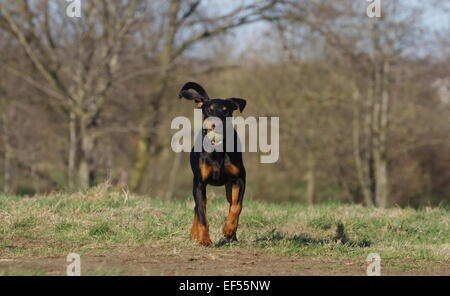 Rennender Dobermann - Stock Photo