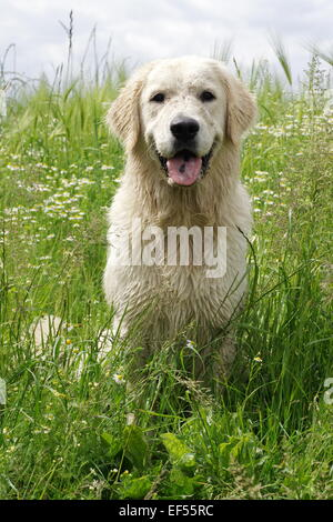 Golden Retriever 14 Monate sitzt in einem bluehenden Kamillefeld, - Stock Photo