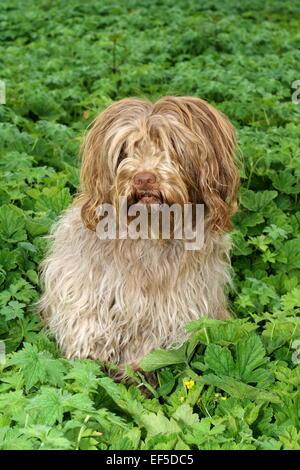 Niederlaendischer Schapendoes sitzt im Garten, - Stock Photo
