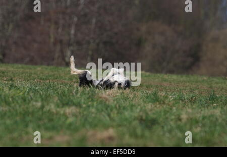Mongrel lies on her back and rolling in the grass, Schnauzer Mischling liegt auf dem Rücken und wälzt sich im Gras - Stock Photo
