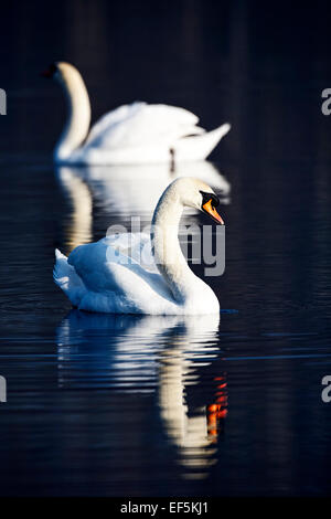 two swans swimming on a lake in early morning ireland - Stock Photo