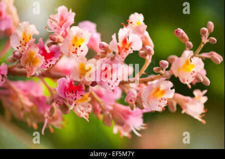 Aesculus red chestnut tree blossoms - Stock Photo