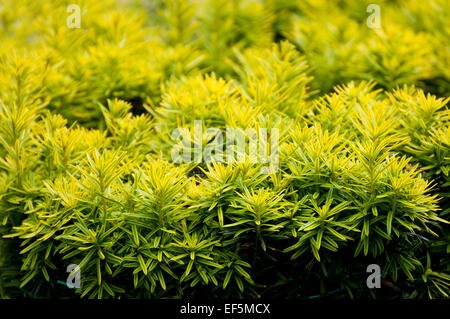 Taxus baccata Yew new shoots growing shrub - Stock Photo