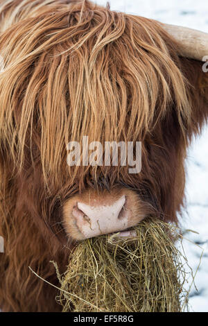 Highland cow eating hay in winter. Scotland - Stock Photo