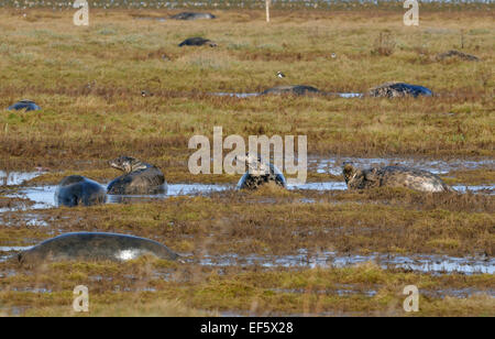Atlantic Grey Seals - Halichoerus grypus in saltmarsh with Lapwing - Stock Photo