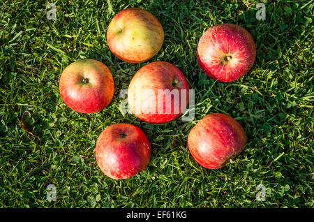 Six Lord Lambourne eating apples on the lawn after picking - Stock Photo