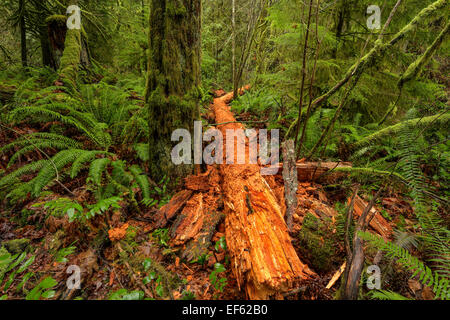 Fallen Western Red cedar tree in Goldstream Provincial Park-Victoria British Columbia, Canada. - Stock Photo