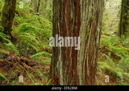 Western Red Cedar tree in Goldstream Provincial Park-Victoria British Columbia, Canada. - Stock Photo