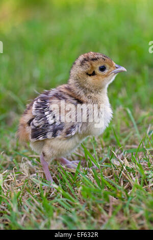 Common pheasant (Phasianus colchicus) chick in grassland - Stock Photo