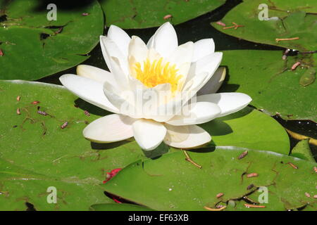 Lotus flower scientific name nelumbo nucifera bangkok thailand white waterlily flower with yellow pistils scientific name nymphaea alba stock photo mightylinksfo