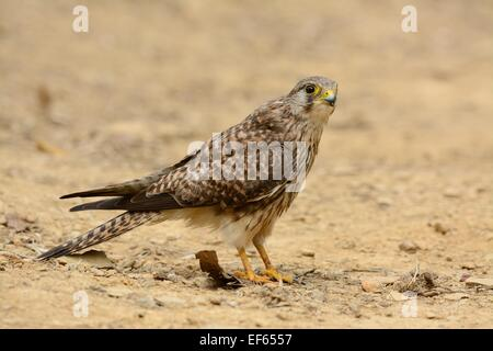 beautiful female Common Kestrel (Falco tinnunculus) standing on ground - Stock Photo