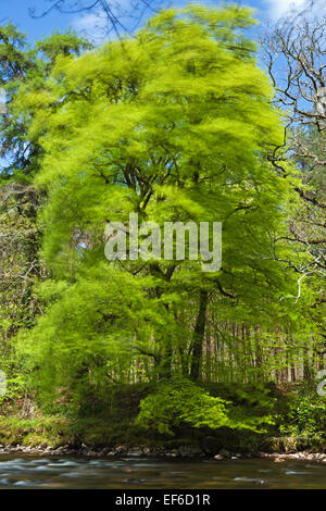 Fresh leaves blow gracefully in the wind as spring decends upon us. - Stock Photo
