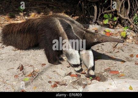 Giant anteater, Myrmecophaga tridactyla - Stock Photo