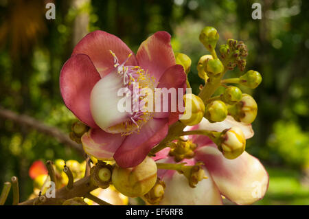 Couroupita guianensis, Cannonball Tree - Stock Photo