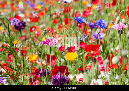 A grass verge planted with a selection of poppies, cornflowers and other wildflowers. Berkshire, England, GB, UK. - Stock Photo
