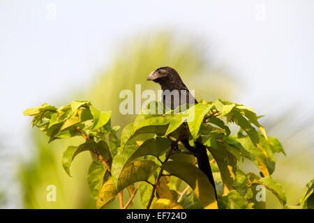 Groove-billed Ani (Crotophaga sulcirostris) perched in the top of a tree. - Stock Photo
