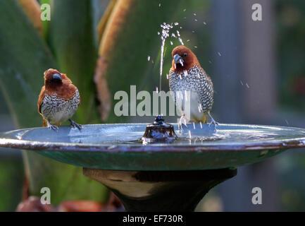 Scaly-breasted Munia, Lonchura punctulata enjoying the water in a birdbath fountain - Stock Photo