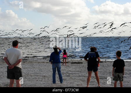 Watching the Black skimmer migrating birds, swarm over the white sand beach,Tampa bay,Florida. - Stock Photo