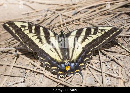 Western Tiger Swallowtail (Papilio rutulus), Bryce Canyon National Park, Utah, United States