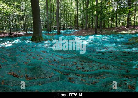 Beech, forest management, Beechnuts, Saatgut, Buchenwald, Bucheckern, Forstwirtschaft, Waldwirtschaft, Fagus sylvatica, - Stock Photo