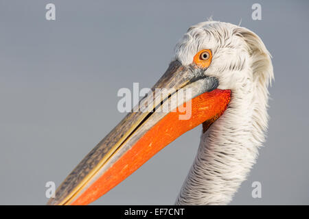 Close up portrait of a Dalmatian Pelican (Pelecanus crispus) on Lake Kerkini in Northern Greece - Stock Photo