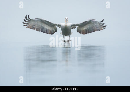 Dalmatian Pelican (Pelecanus crispus) comes head on into land on a very still Lake Kerkini in Northern Greece - Stock Photo