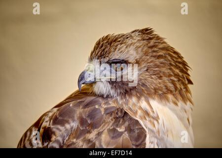 A close up portrait of a Ferruginous Buzzard (brown), head and shoulders sharply rendered against a soft warm buff - Stock Photo