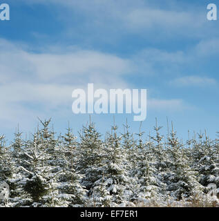 Snow covered pine trees in Scotland - Stock Photo