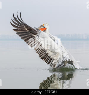 Dalmatian Pelican (Pelecanus crispus) takes off on a very still Lake Kerkini in Northern Greece - Stock Photo