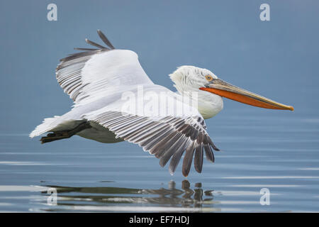 Dalmatian Pelican (Pelecanus crispus) flies across a near still Lake Kerkini in Northern Greece - Stock Photo