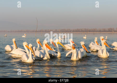 A collection of Dalmatian Pelicans (Pelecanus crispus) in golden evening sunshine on Lake Kerkini in Northern Greece - Stock Photo