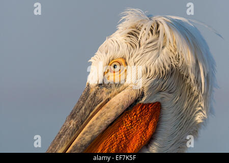 Close up portrait of a Dalmatian Pelican (Pelecanus crispus) in golden evening sunshine on Lake Kerkini in Northern - Stock Photo