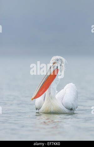 Portrait of a Dalmatian Pelican (Pelecanus crispus) on Lake Kerkini in Northern Greece - Stock Photo