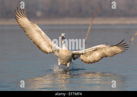 Dalmatian Pelican (Pelecanus crispus) in golden evening sunshine lands on Lake Kerkini in Northern Greece - Stock Photo